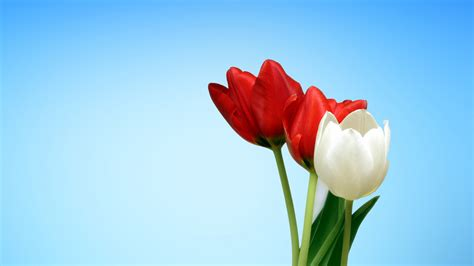spring tulips red white wallpapers hd wallpapers id