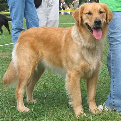 golden retriever dangerous top 10 most dangerous expensive loyal fascinating breeds