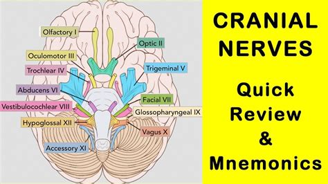 9 Things About That Get On My Nerves by Cranial Nerves Review Facts And Mnemonics