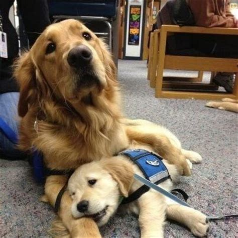 Lutheran Comfort Dogs by Meet Luther And Isaiah Two Comfort Dogs Who Help