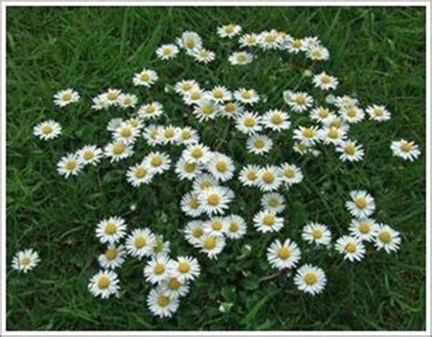 come curare le margherite fiori in giardino come