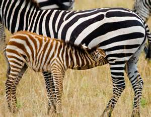 what color is a zebra encyclopaedia of babies of beautiful animals the