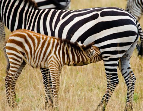 Baby Zebra encyclopaedia of babies of beautiful animals the
