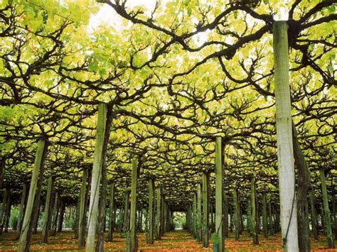 Trellis Vineyards vineyard photos national geographic