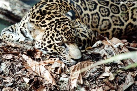 Scientific Name Of A Jaguar 39 Best Images About Cats On Cats South