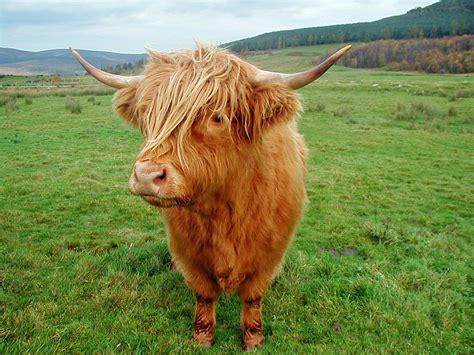 Highland Cow Pictures highland cattle interesting facts photographs all