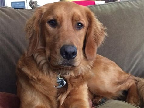 golden retriever autism check out these gorgeous golden retrievers they are so pretty the animal rescue
