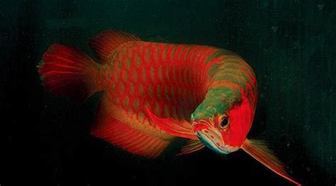 Perkutut Teratai Ikan Arwana the gallery for gt ikan arwana banjar