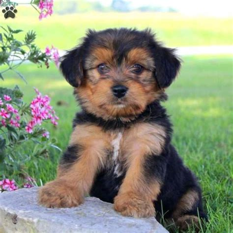 yorkie chon puppies albert yorkie chon puppy for sale in pennsylvania