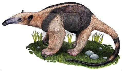 northern tamandua anteater tamandua mexicana  art  full color illustrations