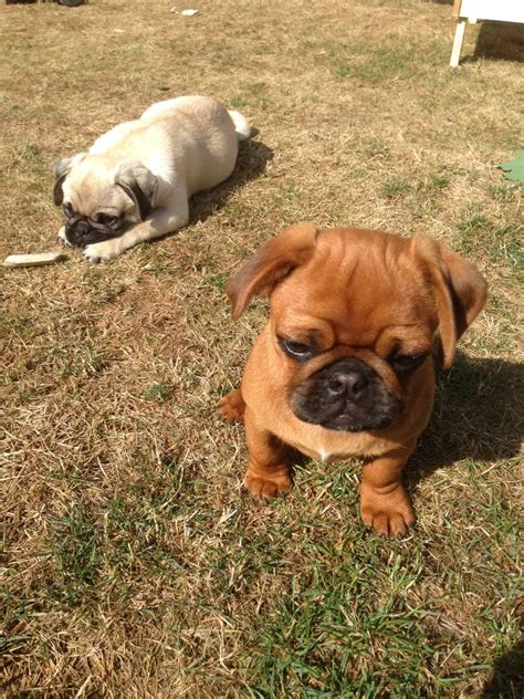 pug intelligence lovely and intelligence pugs sutton surrey pets4homes