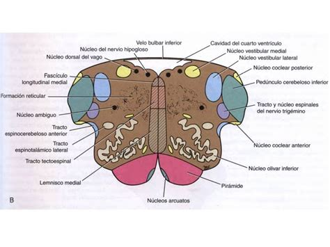 nucleo vestibular unidad 7 tronco encef 225 lico anatom 237 a de sistema nervioso