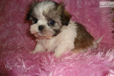 puppies for sale 300 puppies for sale 400 300 breeds picture