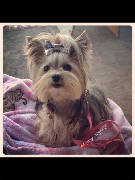 yorkie misa 17 best ideas about misa minnie on yorkie puppies yorkie and