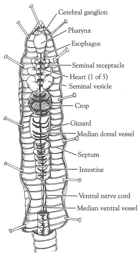 earthworm dissection answers printable earthworm diagrams diagram site