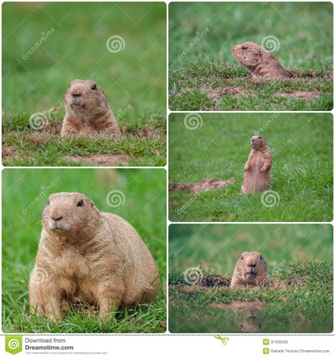 groundhog day time groundhogs stock photo image 37430420