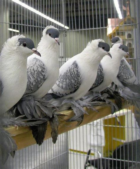 Backyard Pigeons by 17 Best Images About Pigeons On Silver Bars And