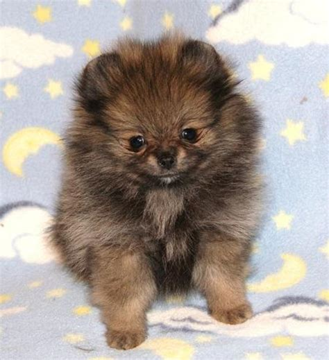 teacup pomeranian price range tiny itty bitty micro teacup mini pomeranian pups in hoobly classifieds