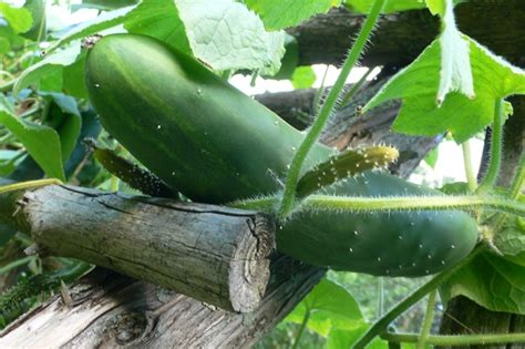 When To Cucumbers From Garden by How To Grow Cucumbers Reboot With Joe