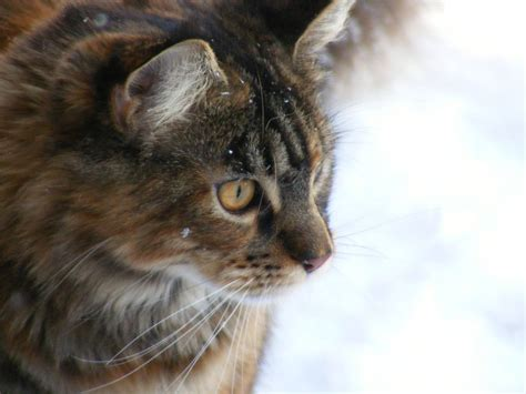 beautiful maine coon for adoption kilmarnock ayrshire