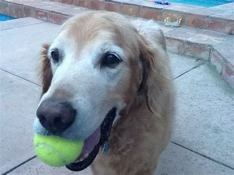 golden retriever separation anxiety problems my has separation anxiety david