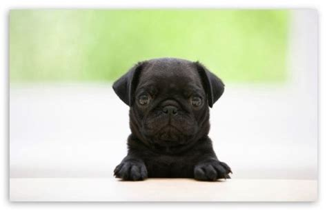 miniature black pug mini black pug