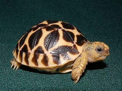 How To Buy Bedding high yellow indian star tortoises for sale from the turtle
