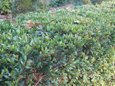 tiny plant syzygium australe tiny trev tiny trev lilly pilly