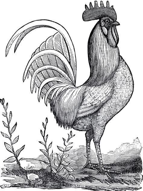 public domain rooster image  graphics fairy
