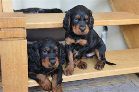 setter dogs for sale uk gordon setter pups for sale aberystwyth ceredigion