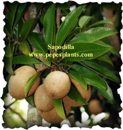 florida fruit trees for sale sapodilla nispero