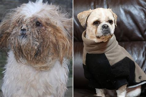 how to shave a shih tzu dumped at rescue centre coated in petrol has sackful of matted fur