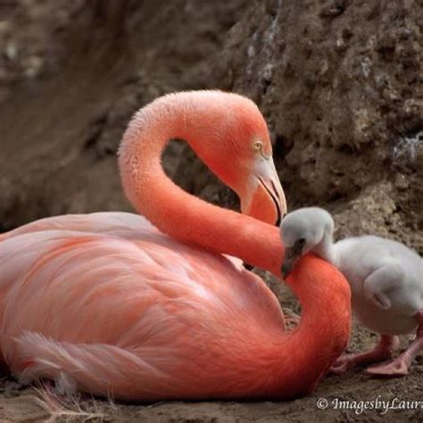 Baby Pink Flamingo pink flamingo with baby pretty in pink flamingos