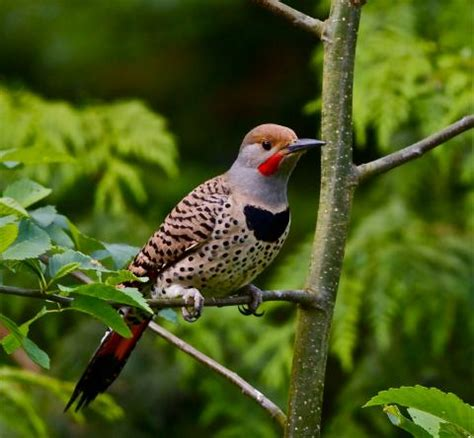 washington state bird facts alabama state bird northern flicker
