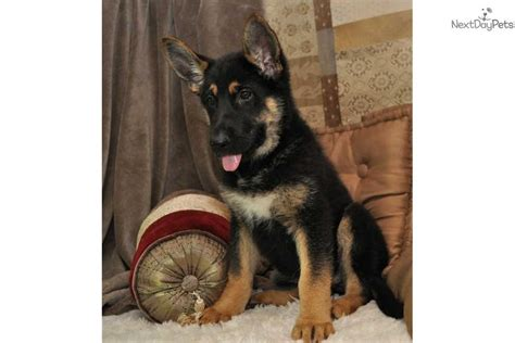 baby german shepherd for sale german shepherd puppy for sale near springfield missouri b767bd85 9c71