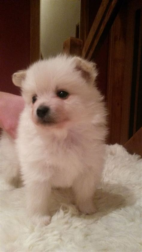 german spitz puppies german spitz puppies for sale welshpool powys pets4homes