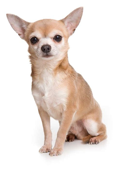 How To House A Chihuahua by Chihuahua Puppies Pictures Information Puppies Pictures
