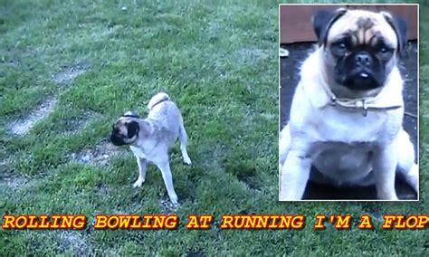 belfast ireland pug loca the pug who cannot run of in belfast northern ireland goes viral