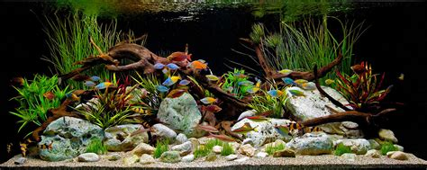 Driftwood Aquascape by A Classic Decorative Freshwater Aquascape Witrh Driftwood