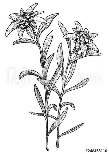 edelweiss illustration drawing engraving ink  art