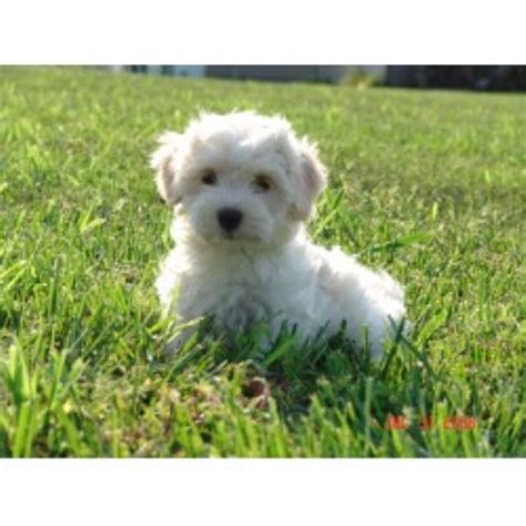 havanese puppies kansas havanese breeders in south dakota freedoglistings