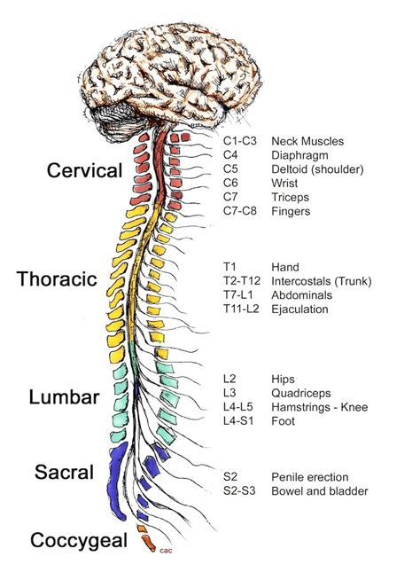 Spinal Cord Parts Diagram