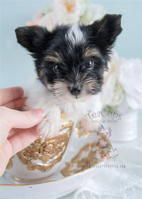 biewer yorkie puppies for sale in florida biewer yorkies for sale teacups puppies boutique
