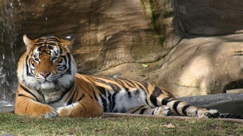 beautiful tiger top 35 most beautiful tiger wallpapers
