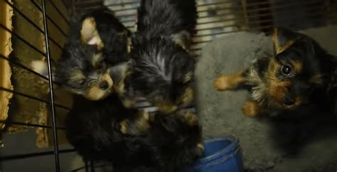 Cabarrus County Warrant Search Officers Receive An Anonymous Tip Rescue 130 Encaged Puppies From A Puppy Mill