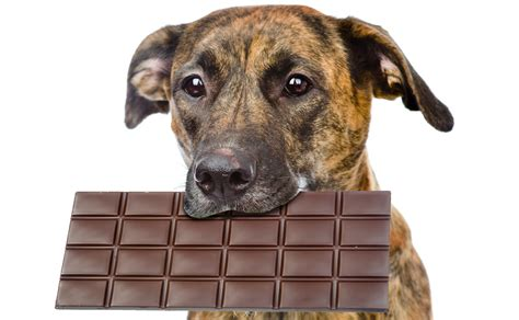 chocolate dogs how much chocolate is toxic for dogs petful
