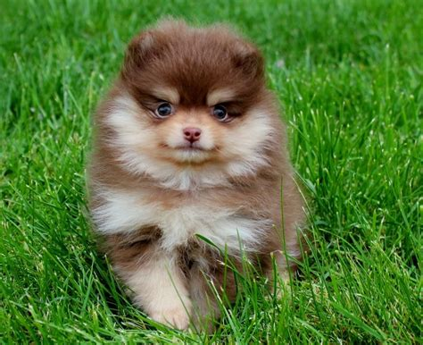 chocolate pomeranian puppy wanted chocolate pomeranian puppy canterbury kent pets4homes