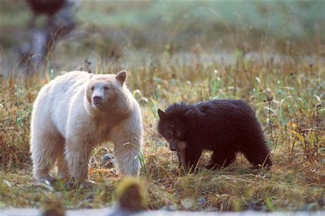 bears of color black identification western wildlife outreach