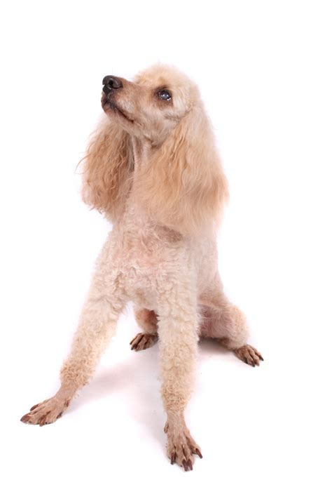 poodle lifespan standard the poodle breeds breeds picture