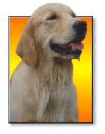 golden retriever fact sheet golden retriever burke s backyard